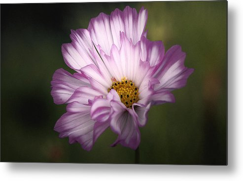 Metal Print featuring the photograph Pink And White Ruffled Cosmos by Thomas J Martin