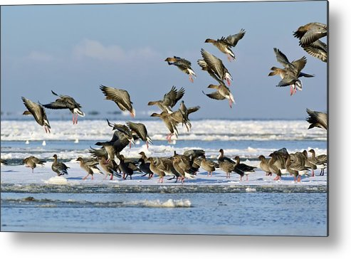 Pink-footed Goose Metal Print featuring the photograph Pink-footed Geese On An Ice Floe by Duncan Shaw