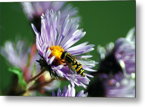 Hoverfly Metal Print featuring the photograph 091509-62 by Mike Davis