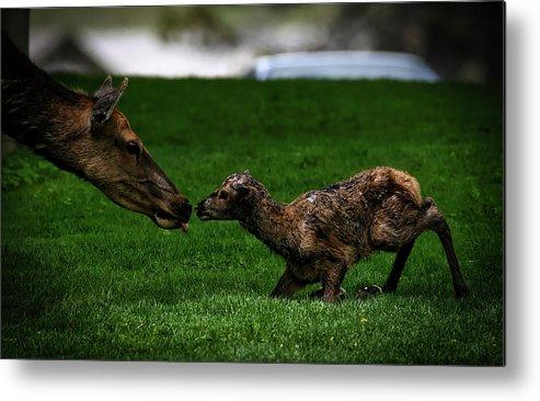 Newborn Metal Print featuring the photograph Newborn Elk by Pixabay