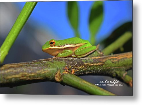 Frog Metal Print featuring the photograph 2017 11 04 Frog I by Mark Olshefski