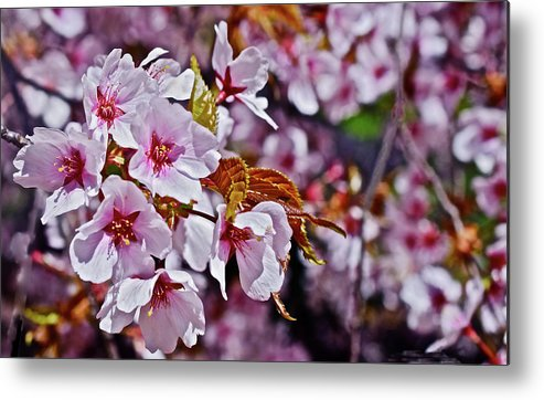 Cherry Trees Metal Print featuring the photograph 2017 Earthday Olbrich Gardens Fuji Cherry 1 by Janis Nussbaum Senungetuk
