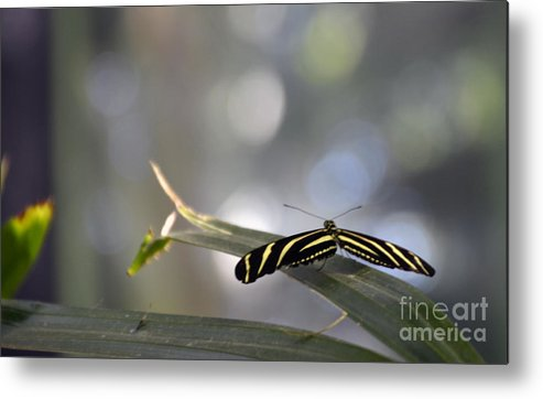Zebra Longwing Metal Print featuring the photograph Almost Flat Lines by Mithayil Lee
