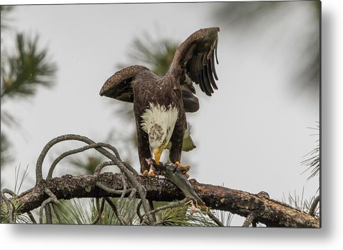 California Metal Print featuring the photograph Bald Eagle Eating Fish by Marc Crumpler