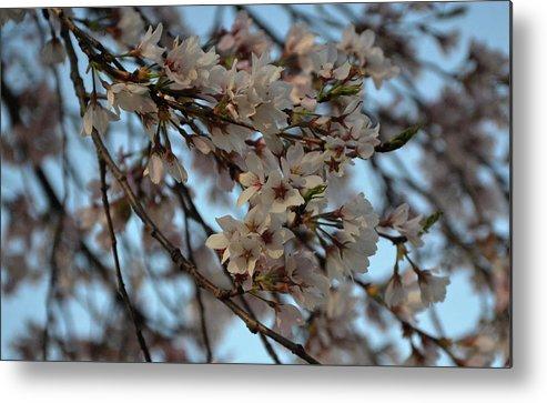 Flower Metal Print featuring the photograph Cherry Blossom by Kamakshi Kumar