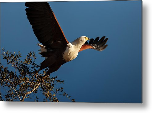 Fish Metal Print featuring the photograph Fish Eagle Taking Flight by Johan Swanepoel