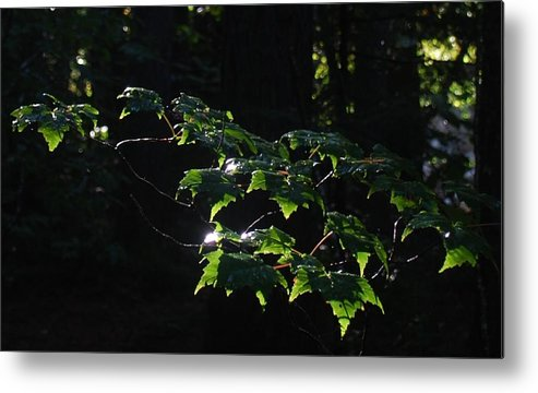 Leaves In Filtered Light Metal Print featuring the photograph Leaves In Filtered Light by Bill Driscoll