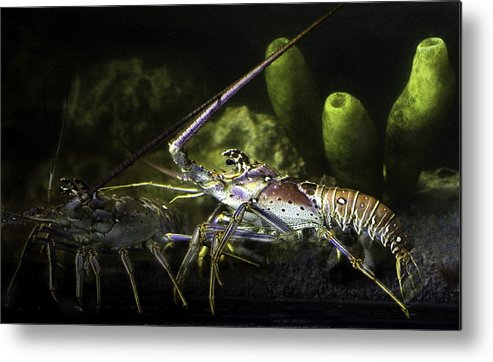 Lobster Metal Print featuring the photograph Lobster In Love by Marilyn Hunt