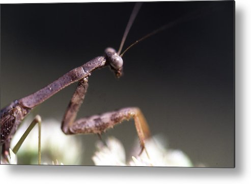 Metal Print featuring the photograph Mantis Pray by Curtis J Neeley Jr