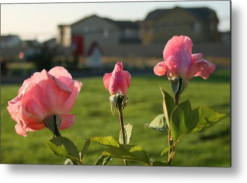 Pink Metal Print featuring the photograph Pink Roses by Joshua Sunday
