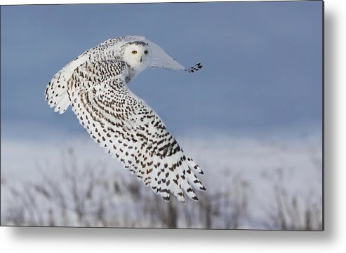 Nature Metal Print featuring the photograph Snowy Owl by Mircea Costina