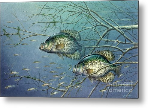 Jon Q Wright Metal Print featuring the painting Tangled Cover Crappie II by Jon Q Wright