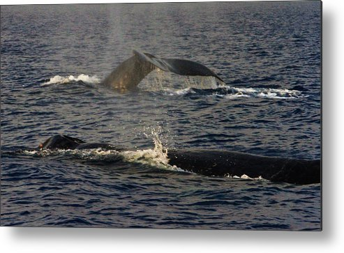 Humpbacks Metal Print featuring the photograph Unseen Battle by Charlie Hunt
