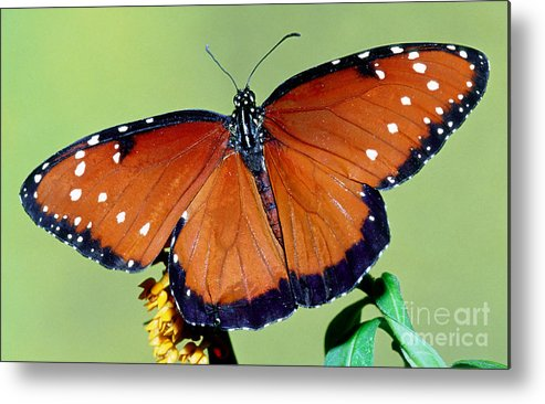 Fauna Metal Print featuring the photograph Queen Butterfly by Millard H. Sharp
