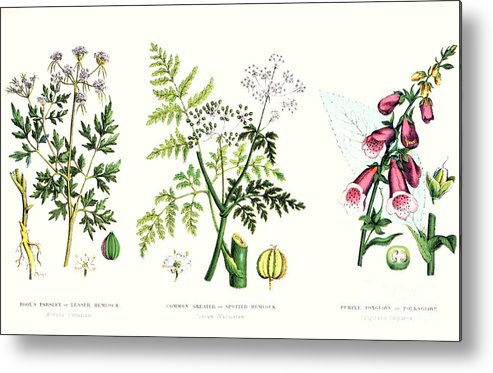 Botany; Botanical; Medicine; Medical; Plant; Flower; Flowers; Toxic Metal Print featuring the painting Common Poisonous Plants by English School