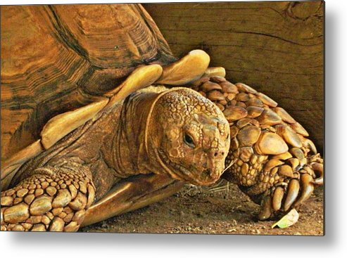 Sulcata Tortoise Metal Print featuring the photograph Almost There by Jennifer Boisvert
