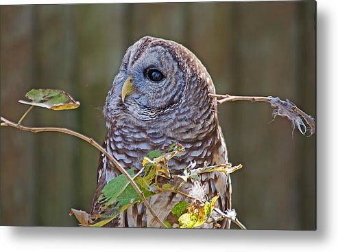 Wildlife Metal Print featuring the photograph Barred Owl by Kenneth Albin