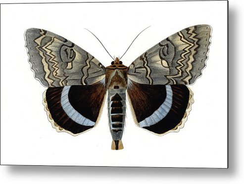 19th Century Metal Print featuring the photograph Blue Underwing Moth by Collection Abecasis