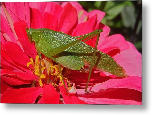 Insect Metal Print featuring the photograph Katydid by Rob Michels