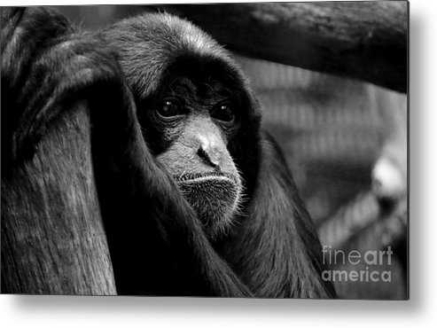 Monkey Metal Print featuring the photograph Lonely by Connor Hauenstein