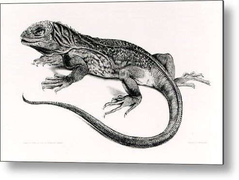 Lizard Metal Print featuring the painting Reptile by English School