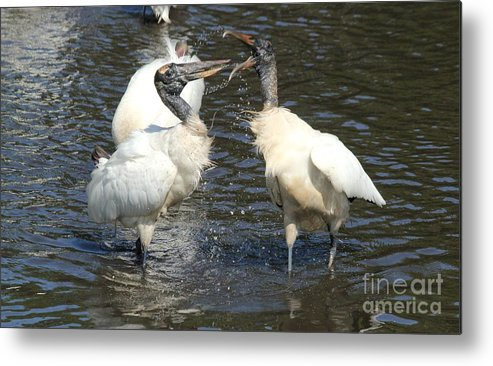Storks Metal Print featuring the photograph Stork Squabble by Theresa Willingham