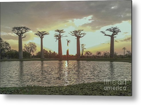 Baobab Tree Metal Print featuring the photograph Sunset And Baobab Trees by L J Oakes