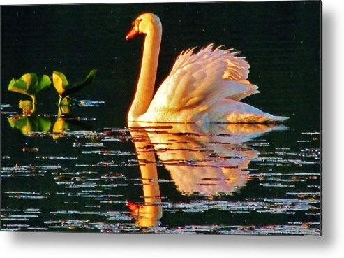 Swan Metal Print featuring the photograph Swan On Rockland Lake by Thomas McGuire