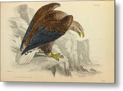 Accipitridae Metal Print featuring the photograph White-tailed Eagle by Natural History Museum, London