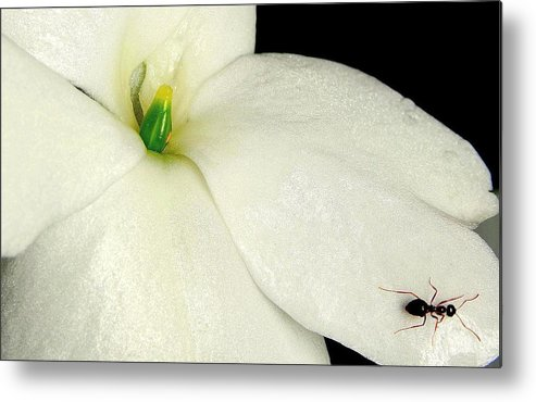 Flower Photographs Metal Print featuring the photograph Ant On White Flower by Johnny Laws