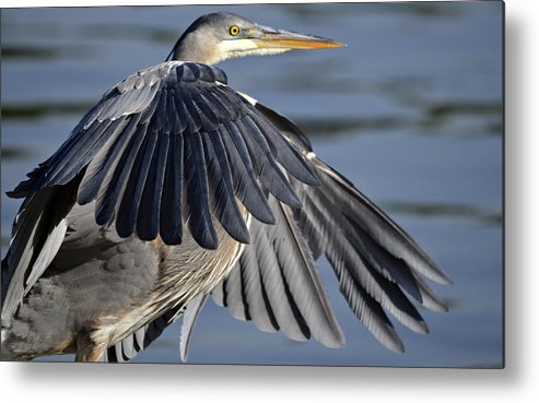 Great Blue Heron Metal Print featuring the photograph Cloaked In Secrecy by Fraida Gutovich