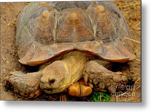 Giant Tortoise Metal Print featuring the photograph Giant Tortoise by Patrick Short