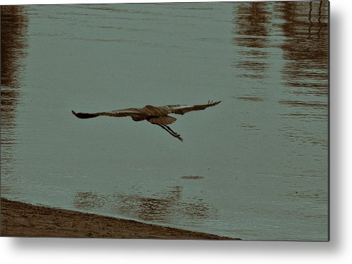Blue Heron Metal Print featuring the photograph Gliding Inches Above The Water by Douglas Barnard