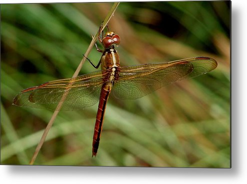 Dragonflies Metal Print featuring the photograph Needham's Skimmer II by Bruce W Krucke
