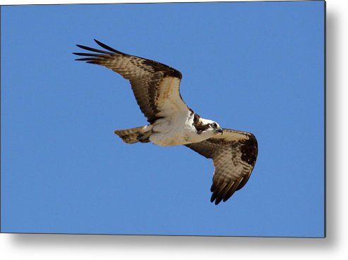 Osprey Metal Print featuring the photograph Osprey by Annie Babineau