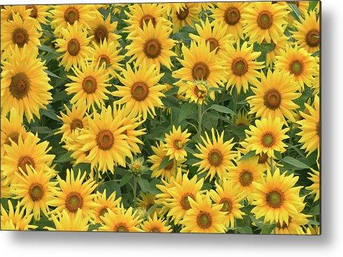Sunflower Metal Print featuring the digital art Sunflower by Dorothy Binder