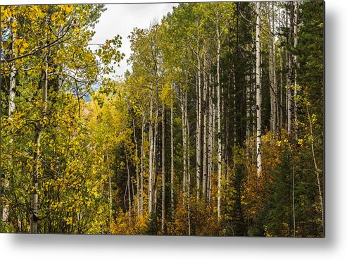 Idaho Metal Print featuring the photograph Aspens In Autumn by Yeates Photography