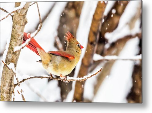 Birds Metal Print featuring the photograph Female Northern Cardinal In The Snow by David Lipsy