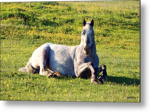 Animals Metal Print featuring the photograph Horse by Anthony Gallagher