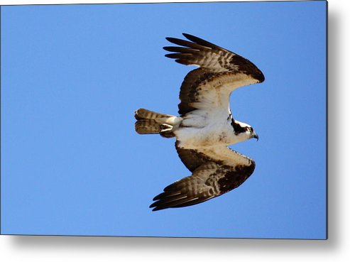 Osprey Metal Print featuring the photograph Male Osprey In Flight by Annie Babineau