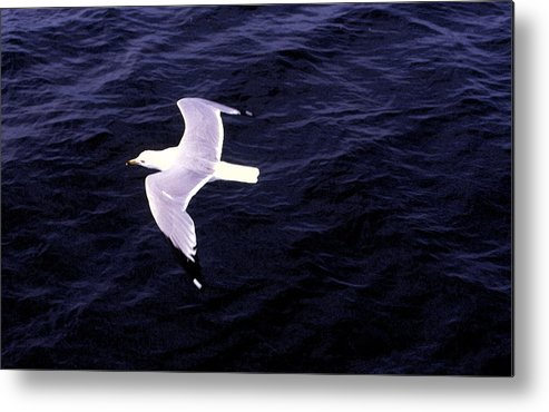 Sea Gull Metal Print featuring the photograph Sea Gull Over Water Dbwc by Lyle Crump