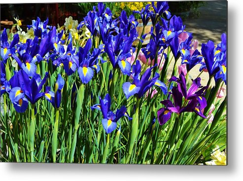 Iris Metal Print featuring the photograph Vivid Blue Iris Flowers by Cherie Cokeley