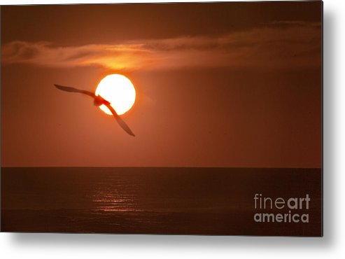 Gull Metal Print featuring the photograph Sunset Gull No.1 by Scott Evers