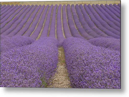 In A Row Metal Print featuring the photograph Hitchin Lavender by Photo © Stephen Chung