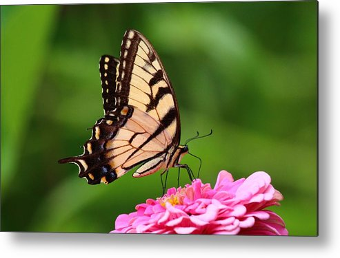 Butterfly Metal Print featuring the photograph Butterfly by DVP Artography