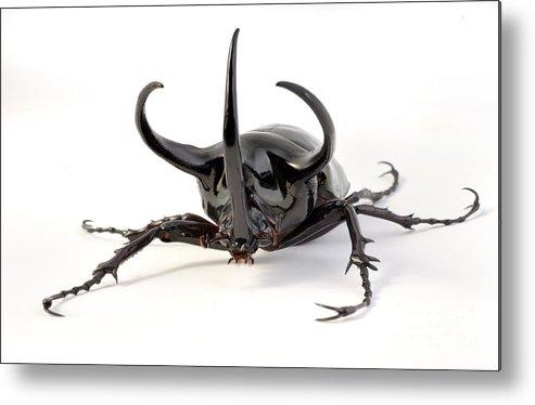 Atlas Beetle Metal Print featuring the photograph Atlas Beetle by Francesco Tomasinelli