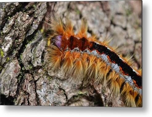 Close Up; Caterpillar; Cape Lappet Moth; Eutricha Capensis; Garden; Insect; Macro; Animal; Golden; Hair; Black; Orange; Metal Print featuring the photograph Cape Lappet Moth Caterpillar by Werner Lehmann