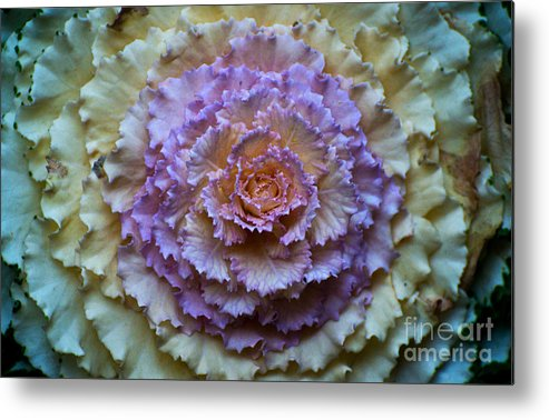 Cabbage Metal Print featuring the photograph Colorful Cabbage by Jaroslaw Blaminsky