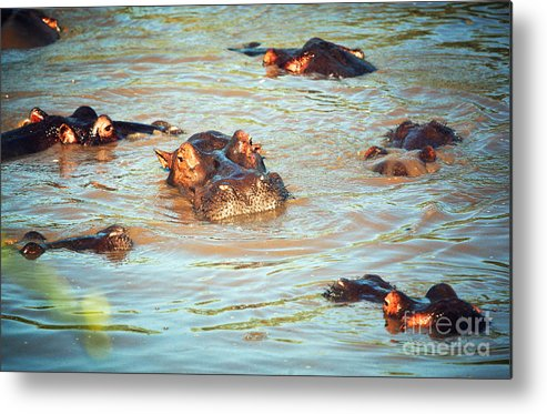 Hippo Metal Print featuring the photograph Hippopotamus Group In River. Serengeti. Tanzania by Michal Bednarek
