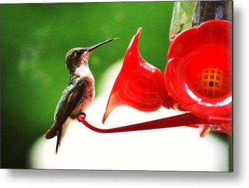 Hummingbird Metal Print featuring the photograph Hummingbird Feeder by Stacey Pollio